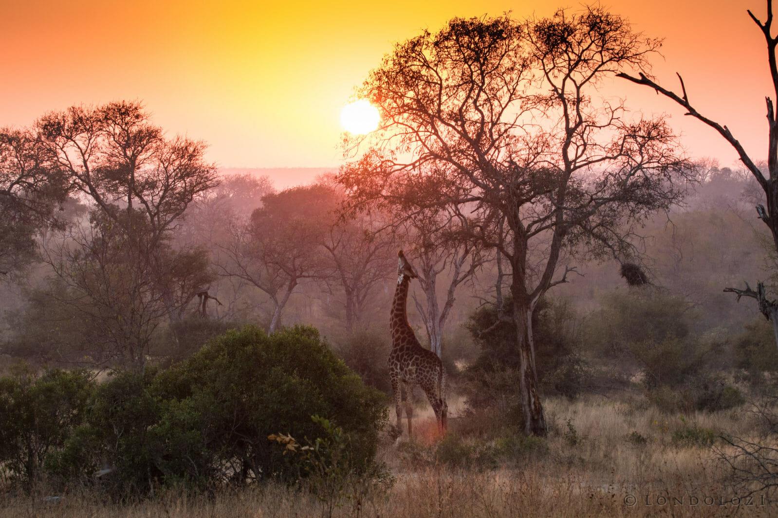 Giraffe Sunset Guy Brunskill