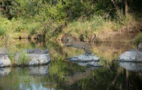 Leopard Jumping Across Rocks James Tyrrell