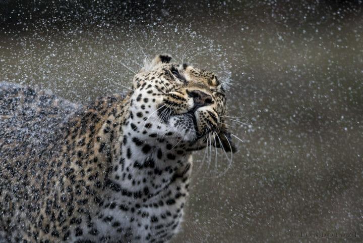 Leopard Shaking Off Water Hi Res Don Heyneke