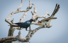 Starling Feeding Cuckoo Alex Jordan