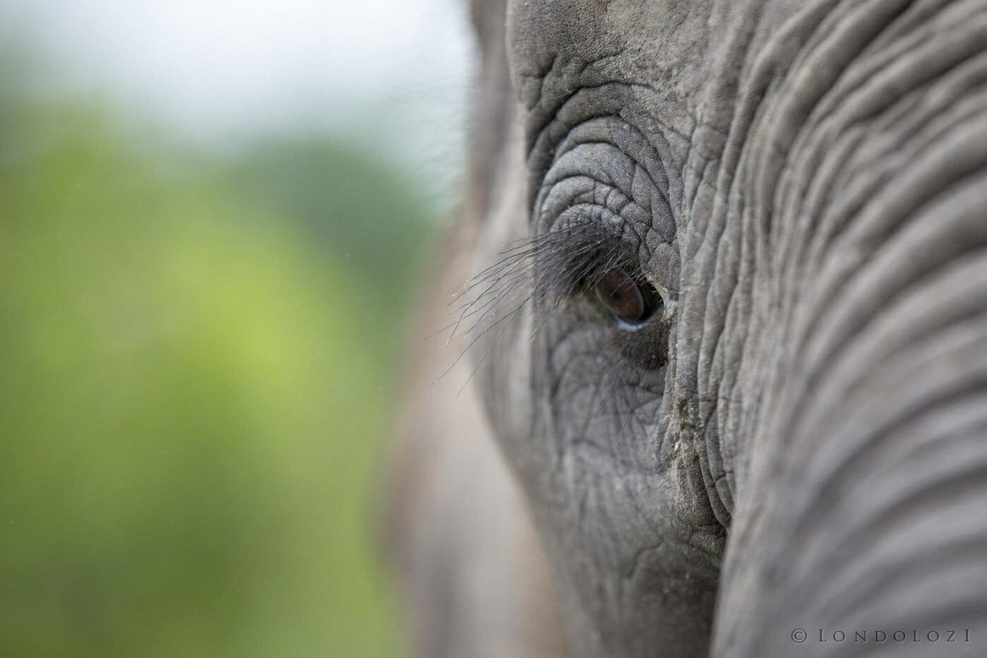 Elephant Eye Jt