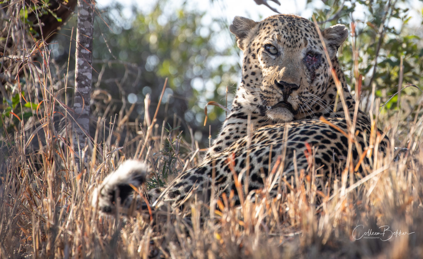 Anderson male leopard with injured eye