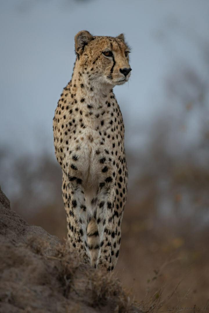 cheetah, termite mound - AJ 2018