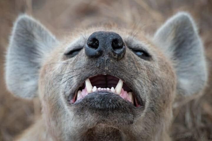 Hyena, Smell, Nose - AJ 2018