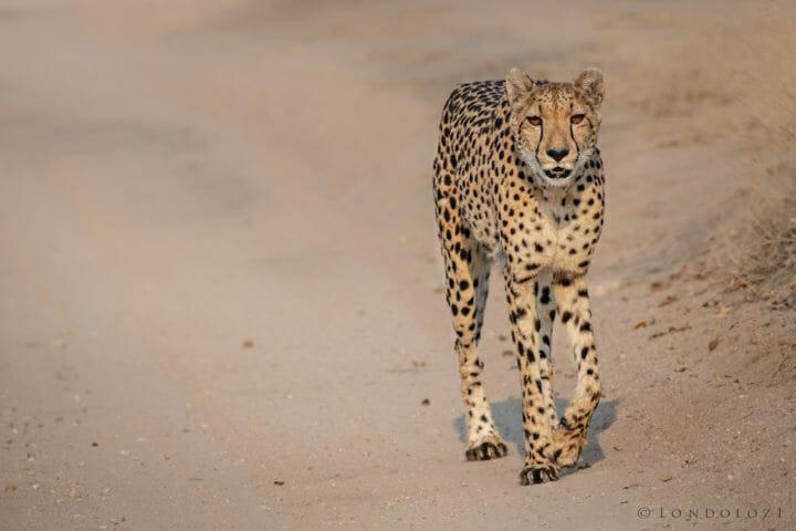 Cheetah - AJ 2018