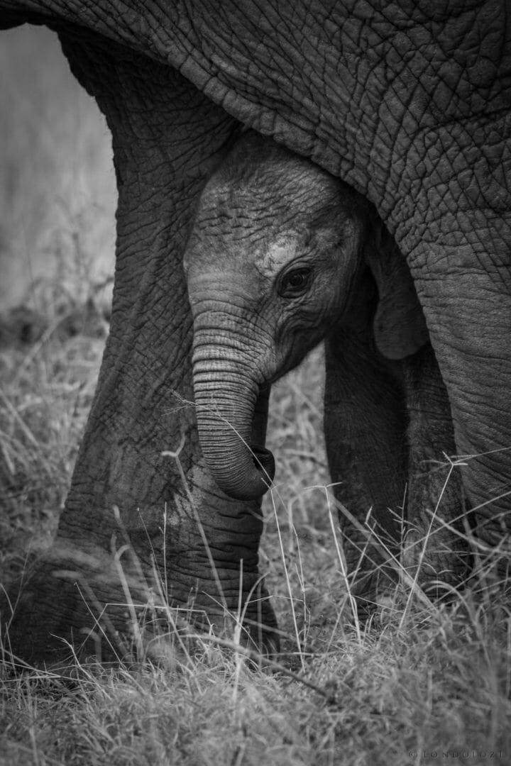 Elephant calf - AJ 2018