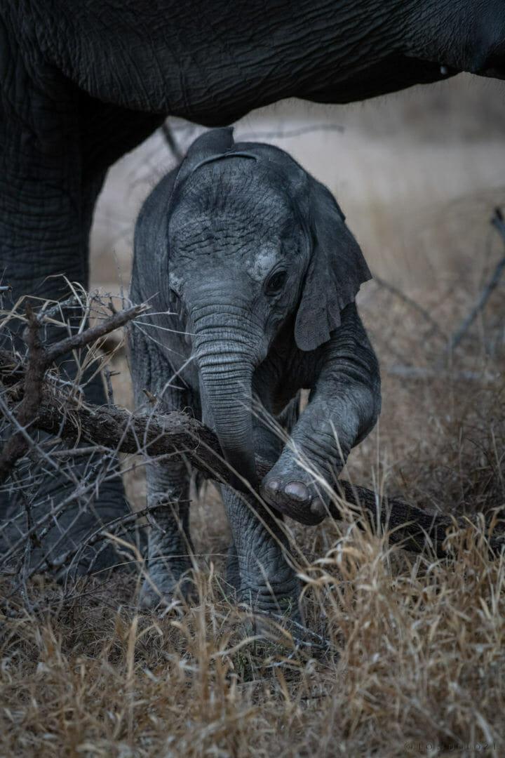 elephant, calf - AJ 2018