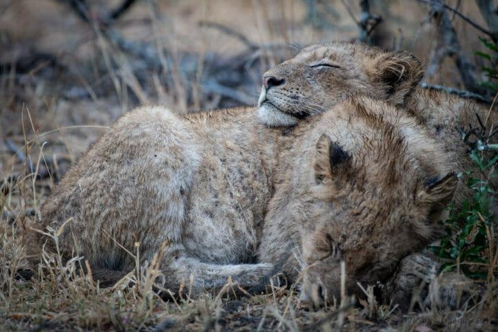 Styx pride, lions, cubs - AJ 2018