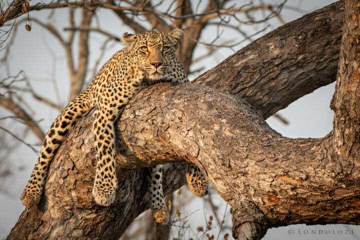 ndzanzeni, marula tree - AJ 2018