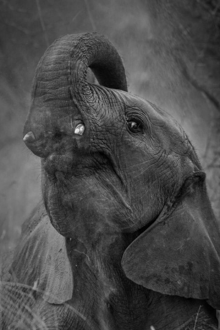 elephant, dust bath - AJ 2018