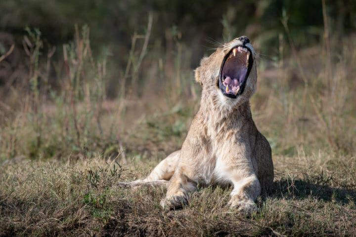 tsalala, yawn - AJ 2018