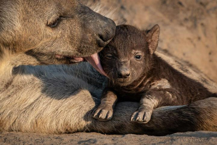 Hyena, grooming, cub - AJ 2018