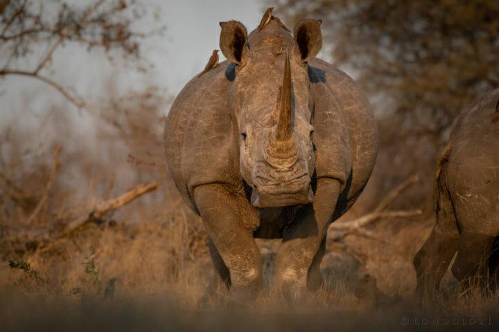 White rhino - AJ 2018
