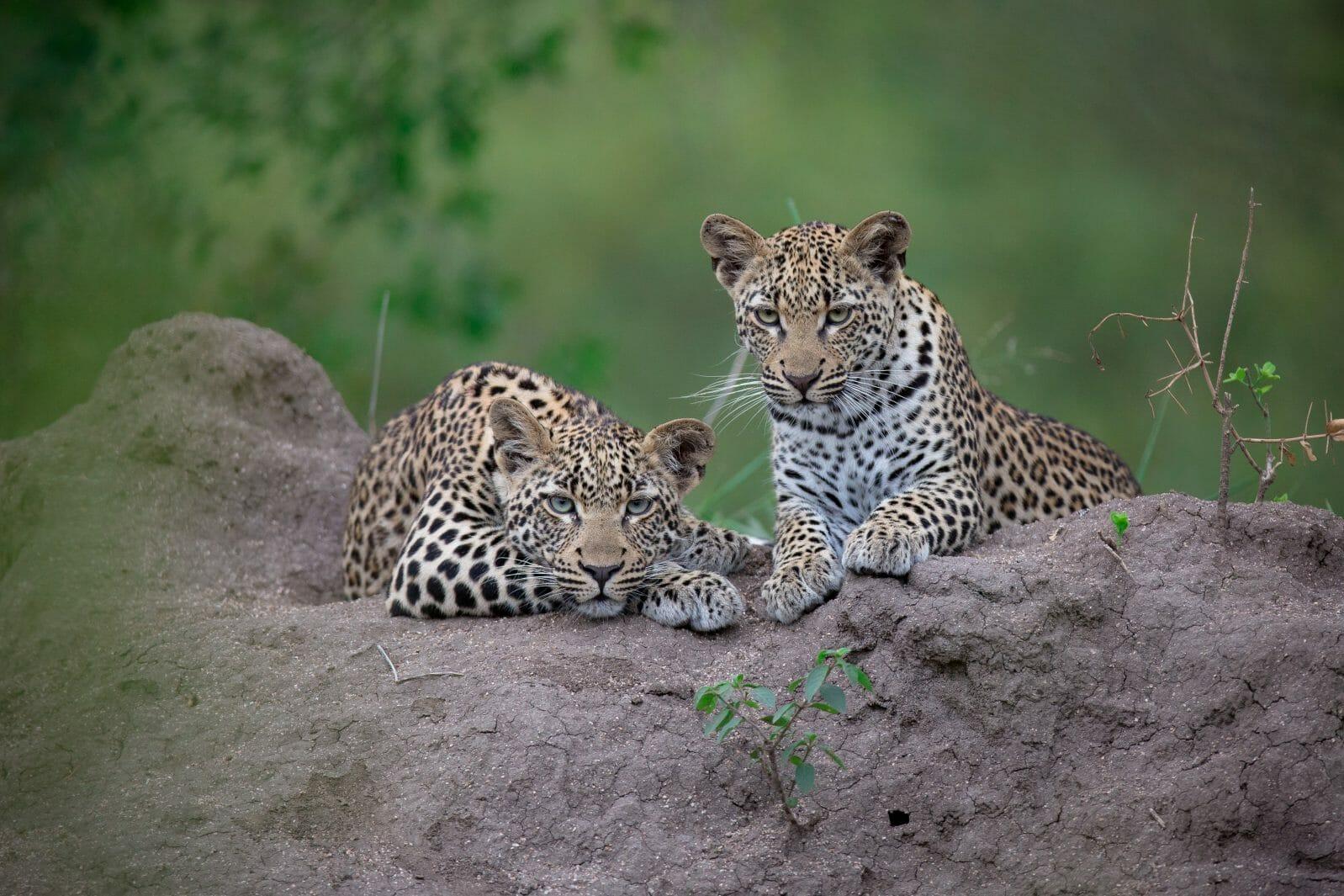 Tatowa Leopard Cubs