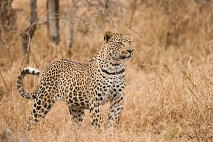 Nestle Leopards 2 2