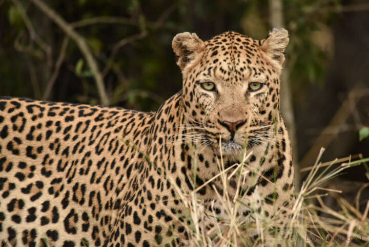 Nestle Leopards 2 3