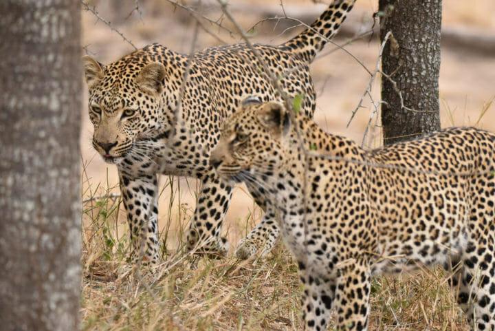 Nestle Leopards 2 4