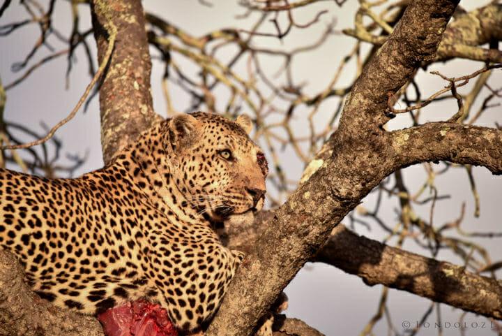 Nestle Leopards 2 6