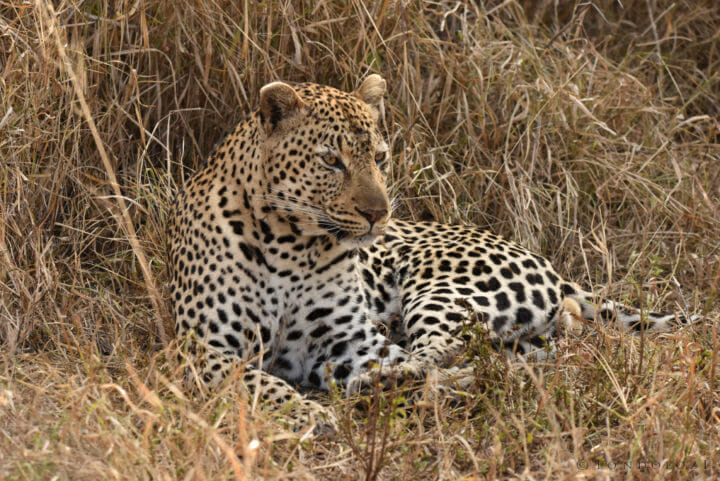 Nestle Leopards 2
