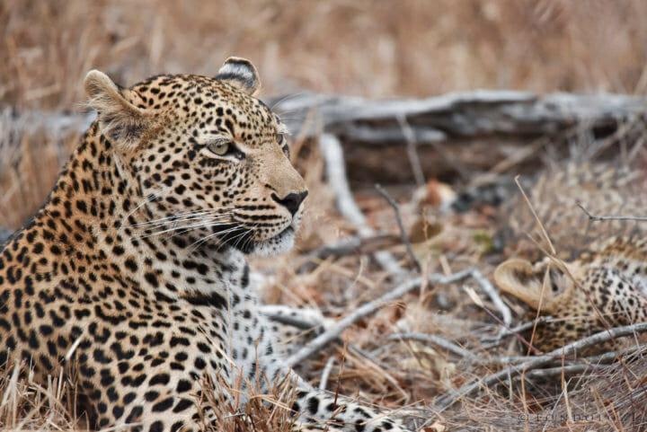 Nestle Leopards 4
