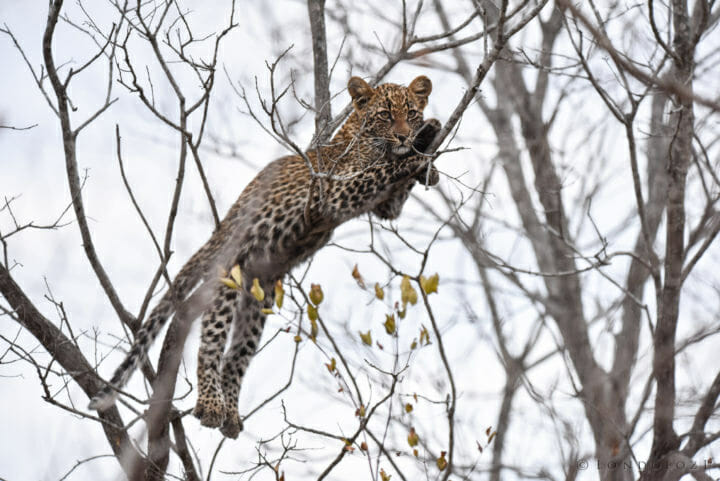Nestle Leopards 5