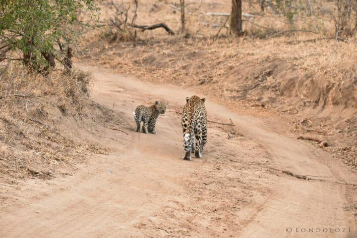 Nestle Leopards 6