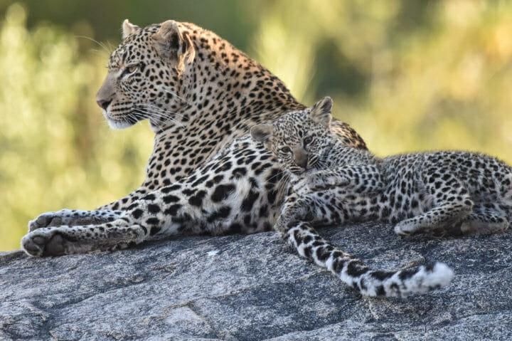 Nestle Leopards 7