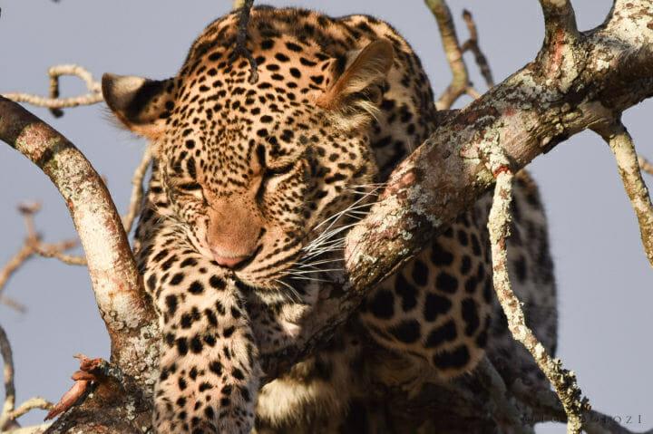 Nestle Leopards