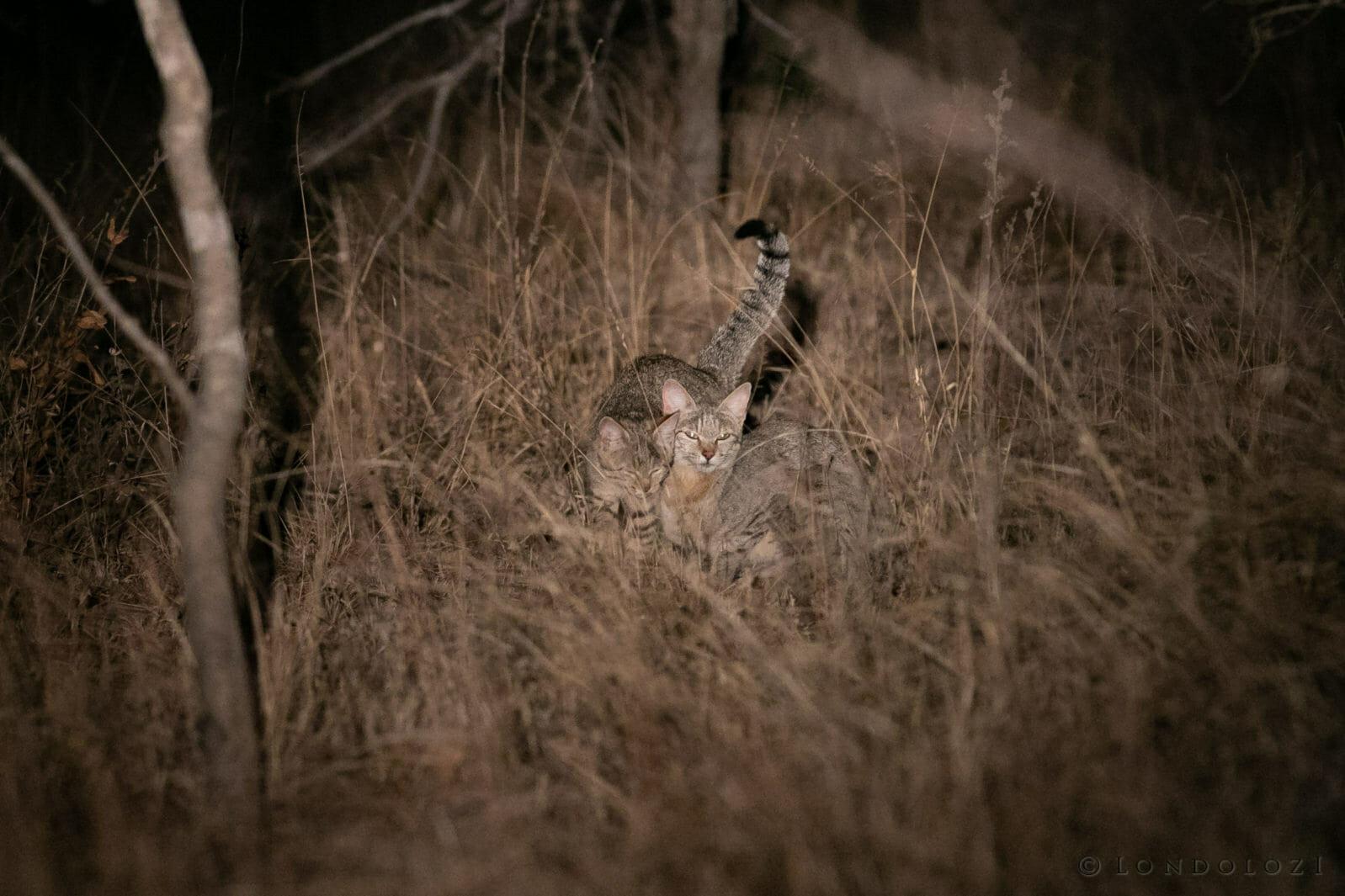 Wild Cat Gb 2