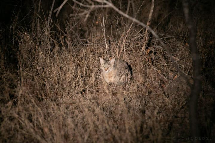 Wild Cat Gb 4