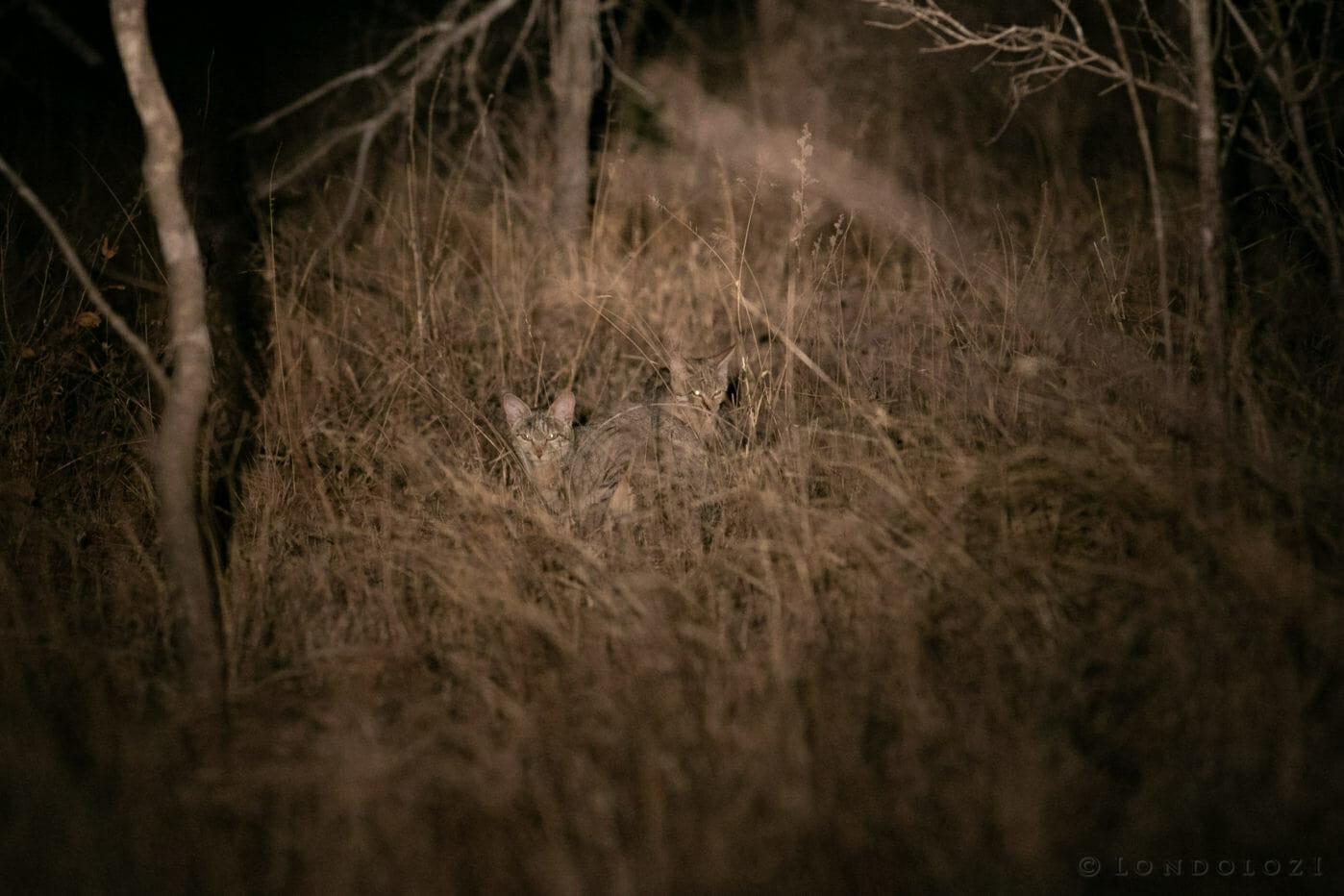 Wild Cat Gb