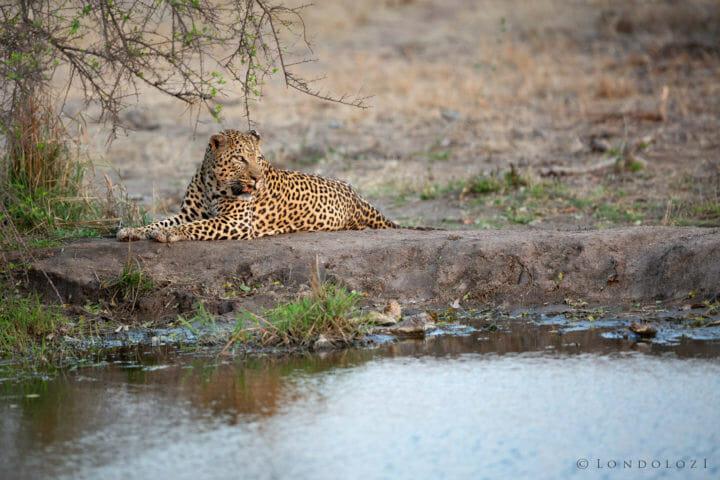Inyathini Male Leopard