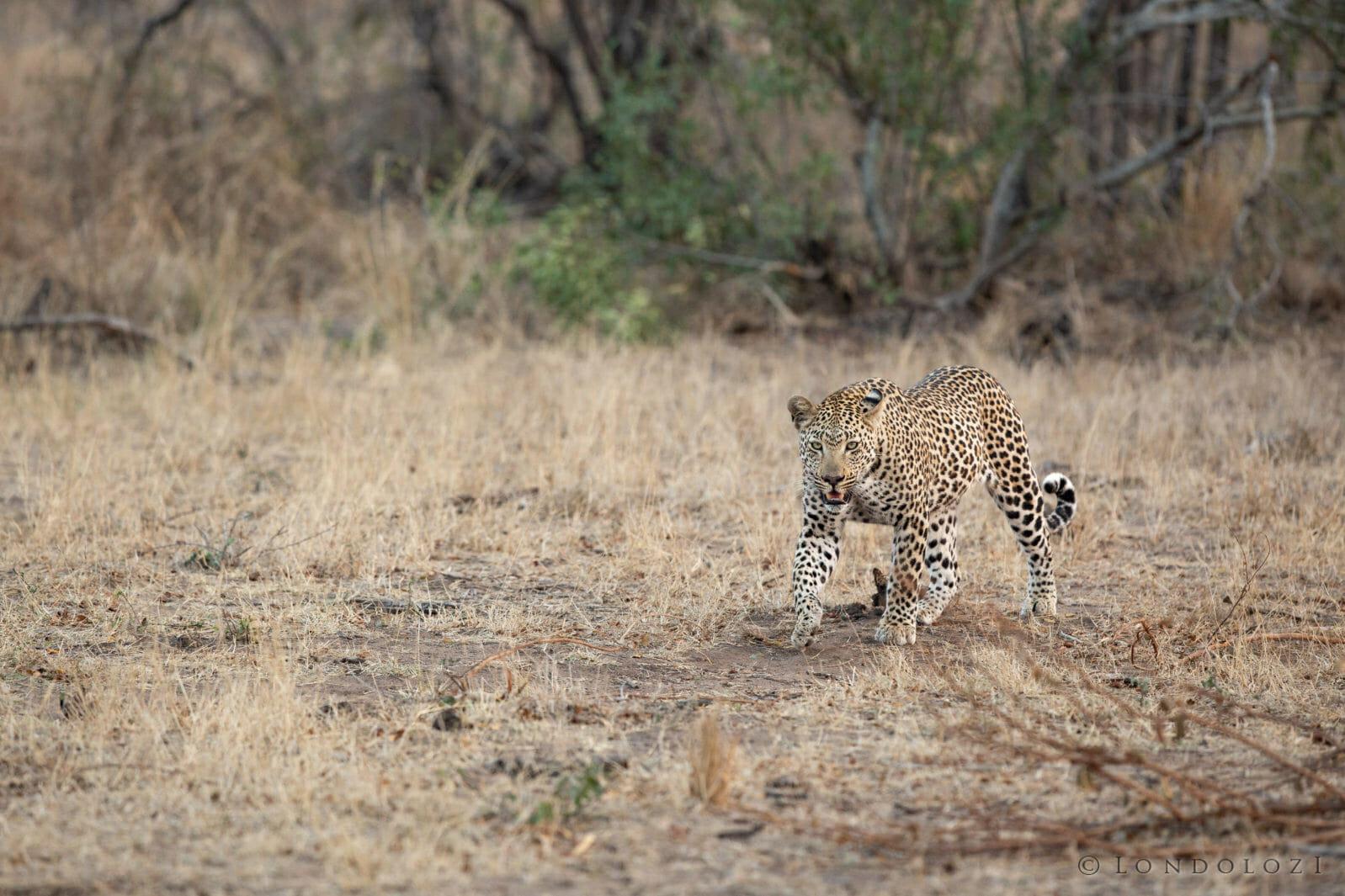 Ndzanzeni Young Male Leopard Drink
