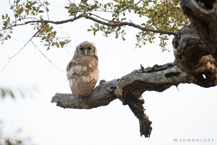 Giant Eagle Owl Chick