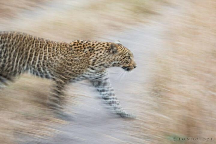 Ingrid Dam Female Leopard
