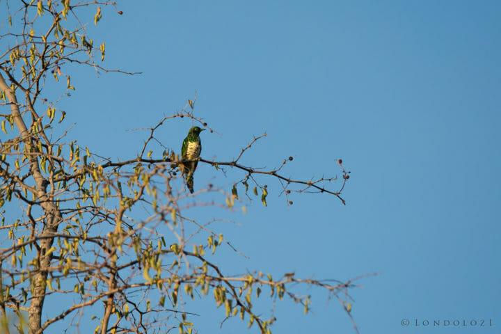 Klaas Cuckoo