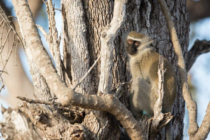 Monkey Leadwood