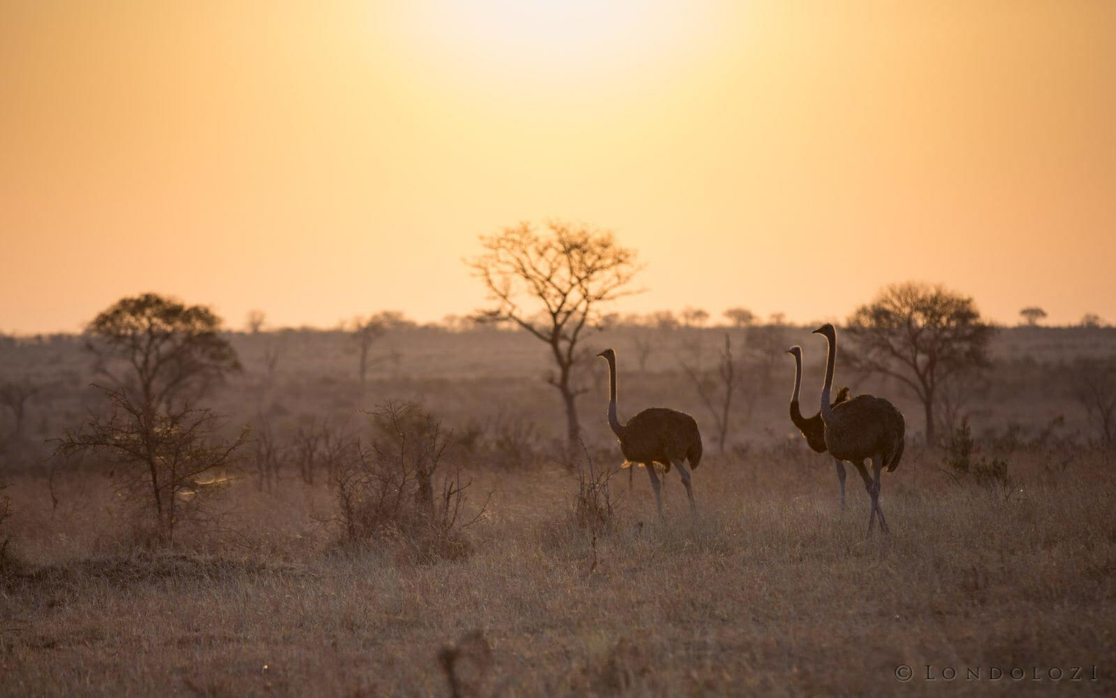 Ostrich Sunset