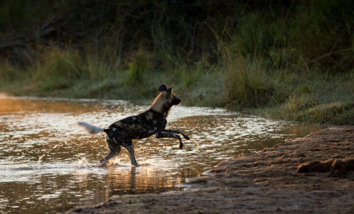 Wild Dog Splash
