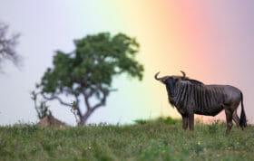Wildebeest Rainbow 2