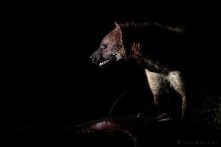 Hyena, side light - AJ 2018