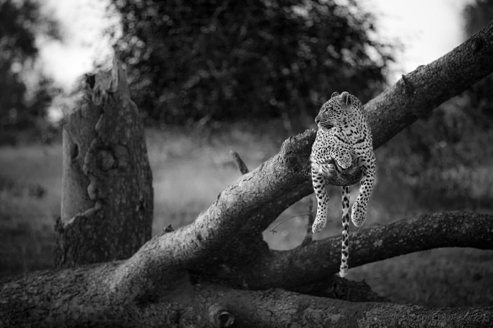 Tamboti Leopard On Fallen Tree