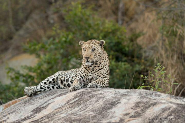 Londolozi's Anderson Male leopard lies on a boulder by Grant Rodewijk