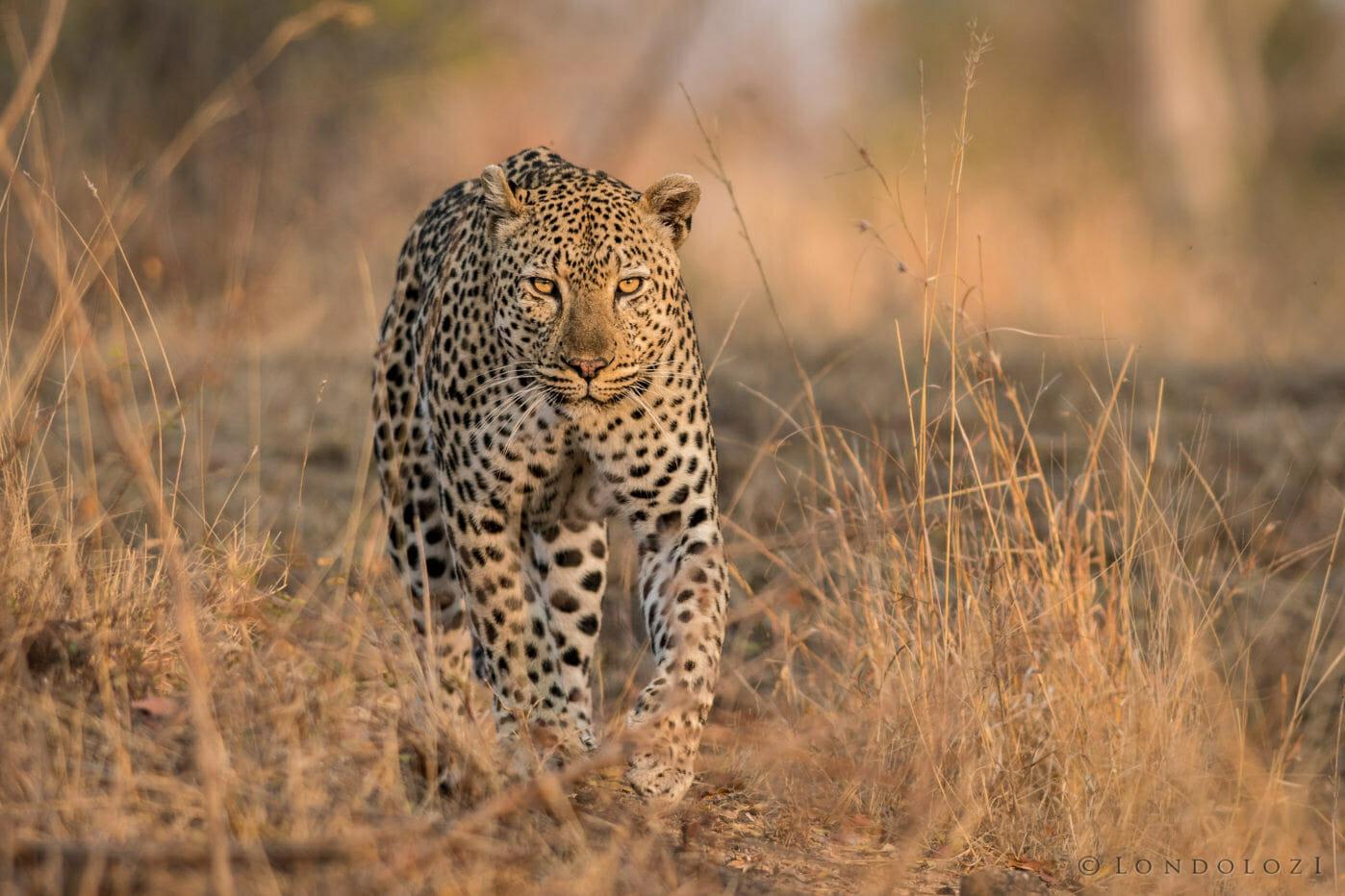 Londolozi's Flat Rock Male leopard walks through dry grass by Grant Rodewijk