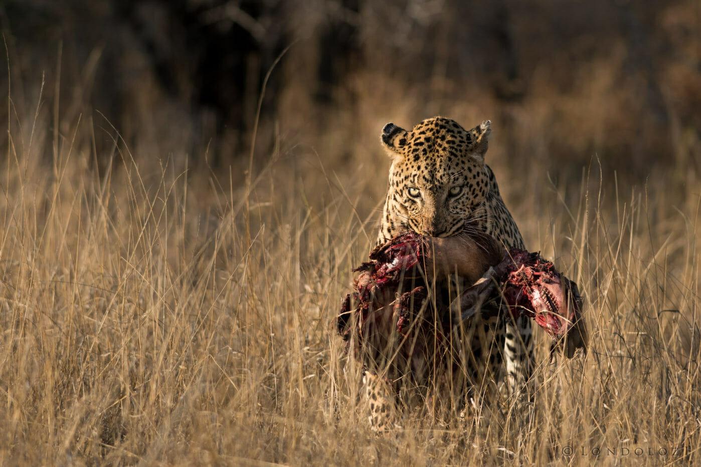 Londolozi's Inyatini Male leopard carrying an impala kill by Grant Rodewijk