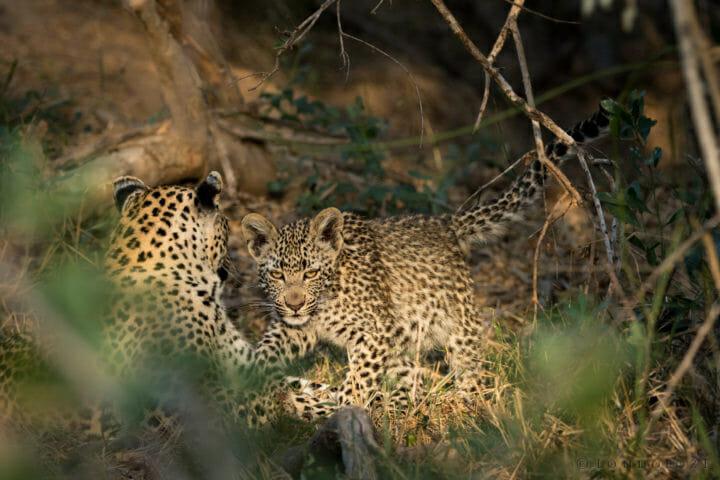 Londolozi's Nhlanguleni leopard and her cub enjoying the sun by Grant Rodewijk