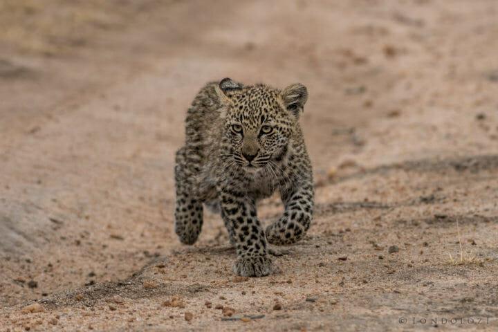 Londolozi's Nkoveni Females leopard cub in stride by Grant Rodewijk