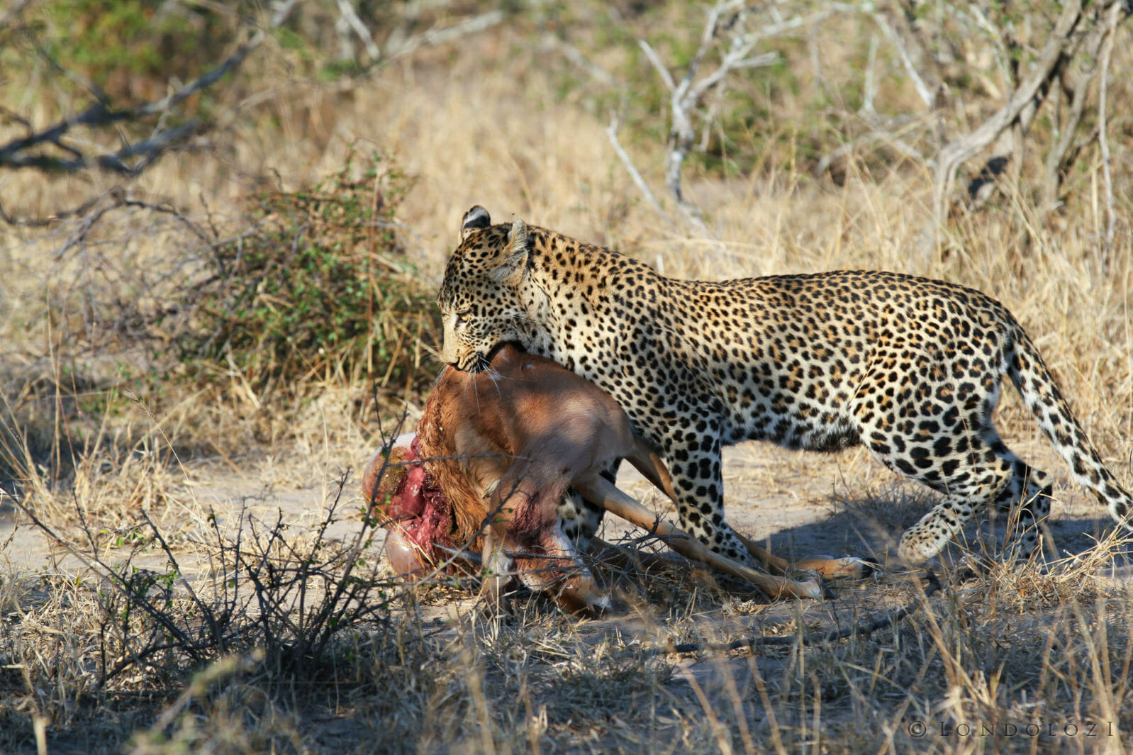 Just Another Morning For a Mother Leopard Raising a Cub