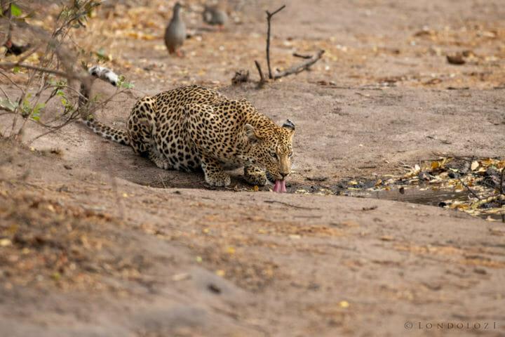 Londolozi's Mashaba Female leopard drinking water by Grant Rodewijk