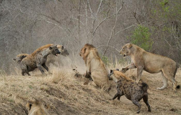 Lion Sparta Hyena